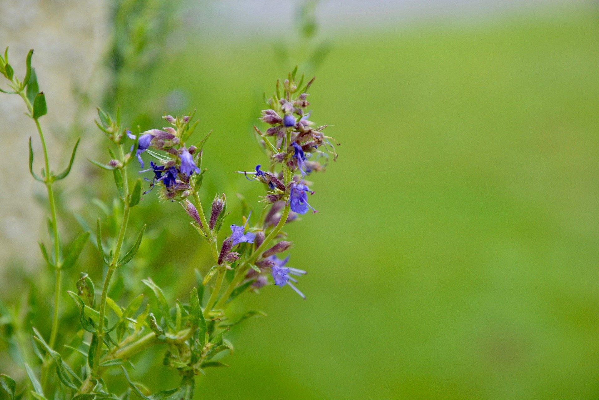 Hisopo plantas antimosquitos